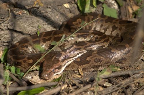 Python at Bharatpur Bird Sanctuary